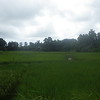 countryside rice paddy