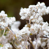 Pearly Everlasting, Mt. Rainier National Park