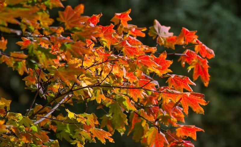 Vine Maple at Mt. Rainier