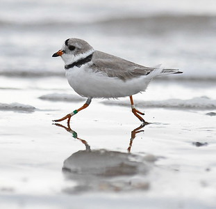 Another Piping Plover with leg bands!