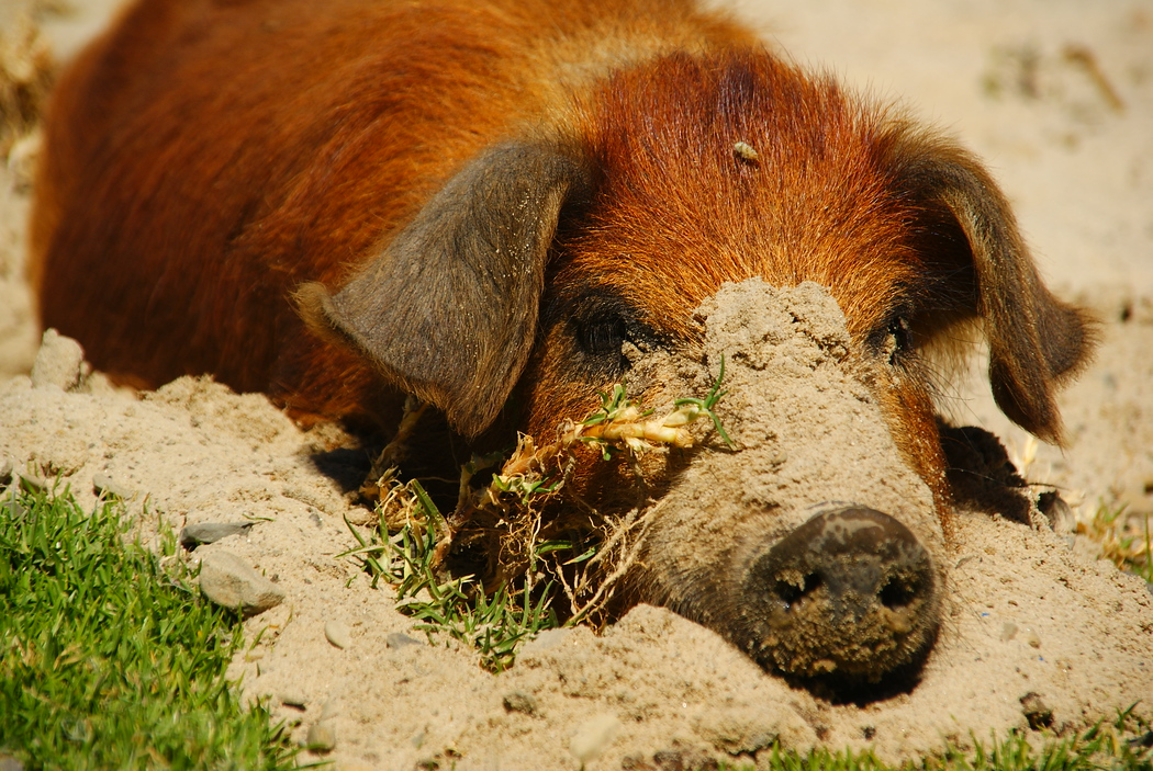 Pig lying down in the sand at Lake Titicaca, Bolivia