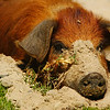 """A pig lying in the sand - Lake Titicaca, Bolivia.  This is a travel photo from Lago Titicaca, Bolivia. <a href=""""http://nomadicsamuel.com"""">http://nomadicsamuel.com</a>"""