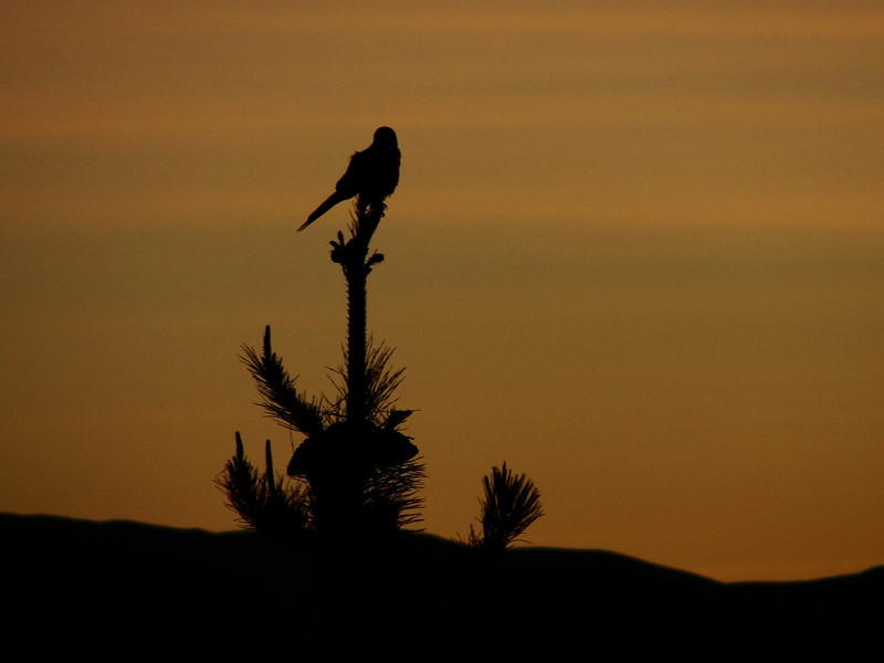 """A bird perching on a small tree rendered as a silhouette during sunset - Copacabana, Bolivia.  Travel photo from Copacabana, Bolivia. <a href=""""http://nomadicsamuel.com"""">http://nomadicsamuel.com</a>"""