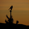 "A bird perching on a small tree rendered as a silhouette during sunset - Copacabana, Bolivia.  Travel photo from Copacabana, Bolivia. <a href=""http://nomadicsamuel.com"">http://nomadicsamuel.com</a>"