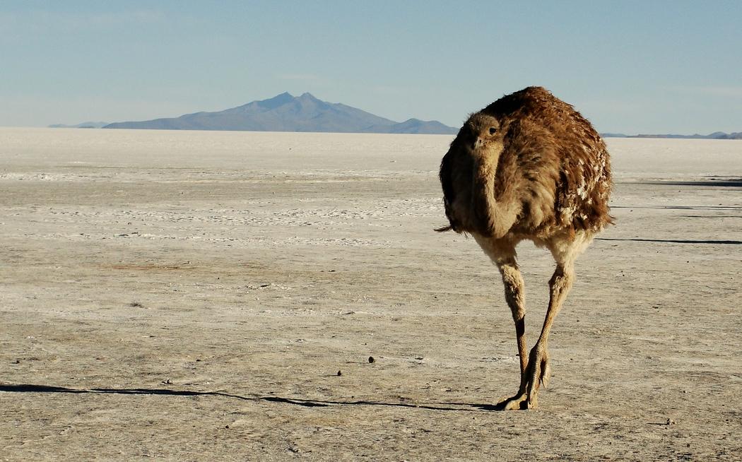 Ostrich | Uyuni Salt Flat Tour | Bolivia | Travel Photo