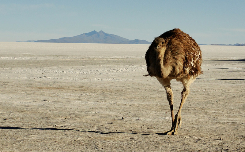 """<a href=""""http://nomadicsamuel.com"""">http://nomadicsamuel.com</a> : In this daily travel photo an ostrich makes its way across the flats near the Uyuni region of Bolivia."""