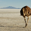 "<a href=""http://nomadicsamuel.com"">http://nomadicsamuel.com</a> : In this daily travel photo an ostrich makes its way across the flats near the Uyuni region of Bolivia."