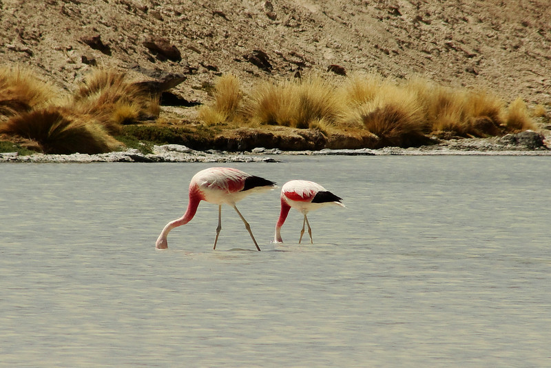 "Flamingos submerging their heads under water - Uyuni Salt Flats, Bolivia. <a href=""http://nomadicsamuel.com"">http://nomadicsamuel.com</a>"