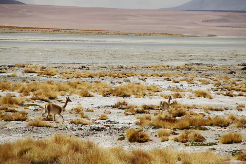 "Alpine deer spotted from near our vehicle - Salar de Uyuni, Bolivia.  Travel photo from Salary de Uyuni, Bolivia. <a href=""http://nomadicsamuel.com"">http://nomadicsamuel.com</a>"
