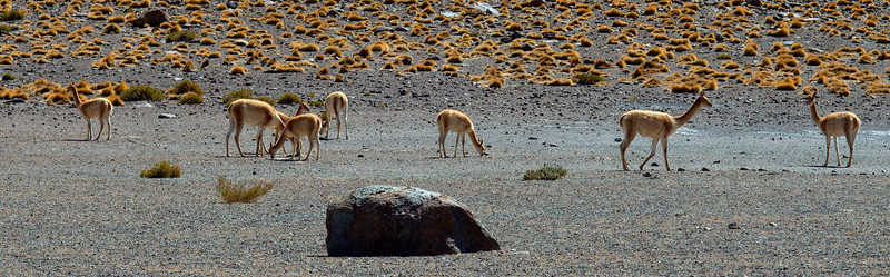 Vicunas in the desert.