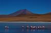 South American flamingos at a high altitude lagunas