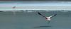 Flamingo in flight over Laguna Hedionda