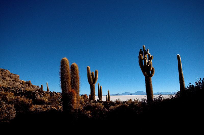 The cacti of Isla Incahuasi.