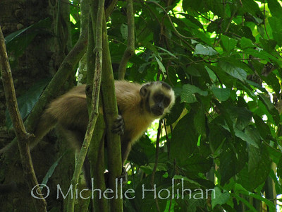 Brown Face Capuchin Monkey, Serere Reserve