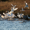 Feeding Frenzy Great White Egret , Reddish Egret