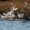 Feeding Frenzy Great White Egret , Reddish Egret