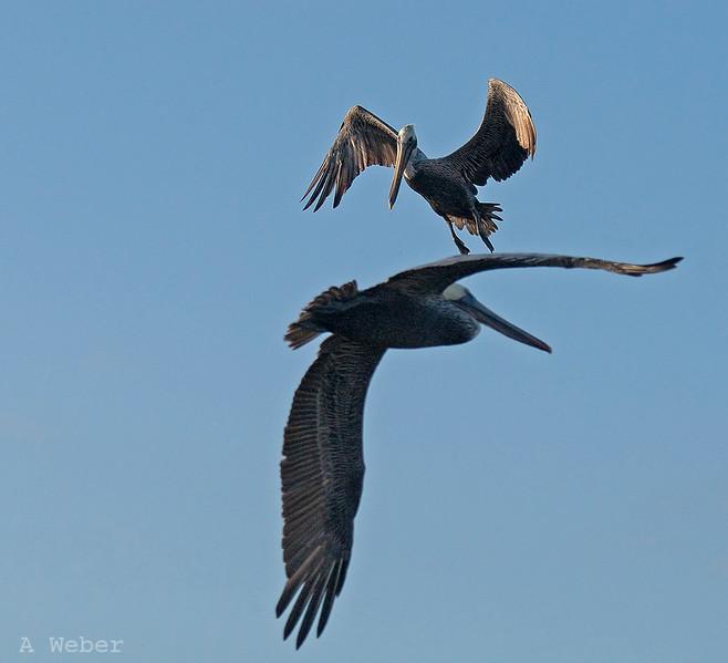 , Brown Pelican