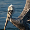 Some can smile , Brown Pelican