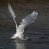 Angelico , Snowy Egret
