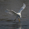 Two step , Snowy Egret