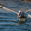 , Brown Pelican