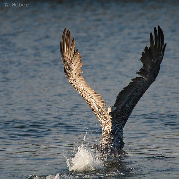 Angelico... , Brown Pelican
