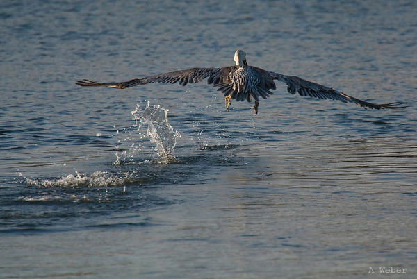 Take-off , Brown Pelican