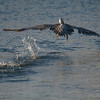 Take-off , Brown Pelican