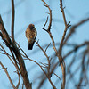 Sleepy Falcon American Kestrel