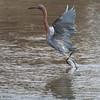, Reddish Egret