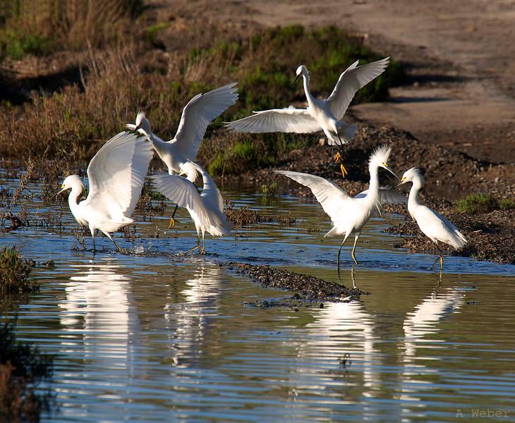 , Snowy Egret