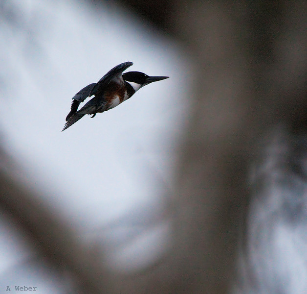 , Belted Kingfisher
