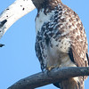 Bolsa Chica Conservancy Redtailed Hawk
