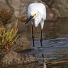 Bolsa Chica Conservancy , Snowy Egret