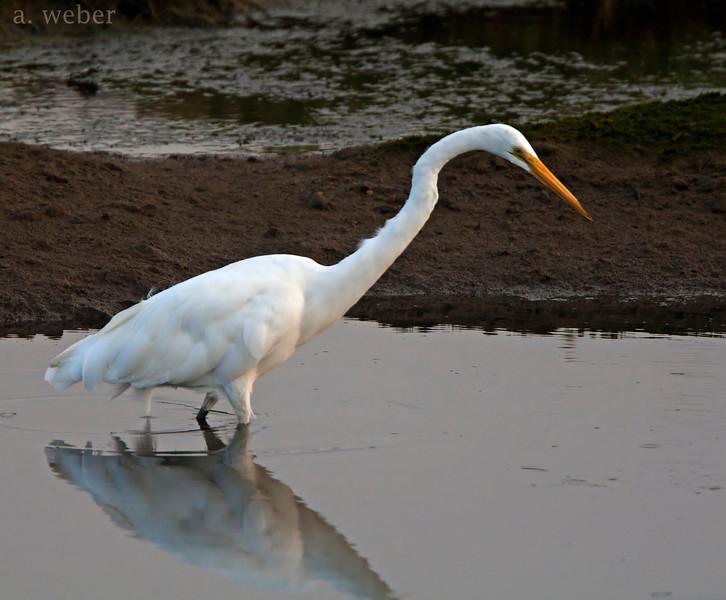 Bolsa Chica Conservancy Great White Egret