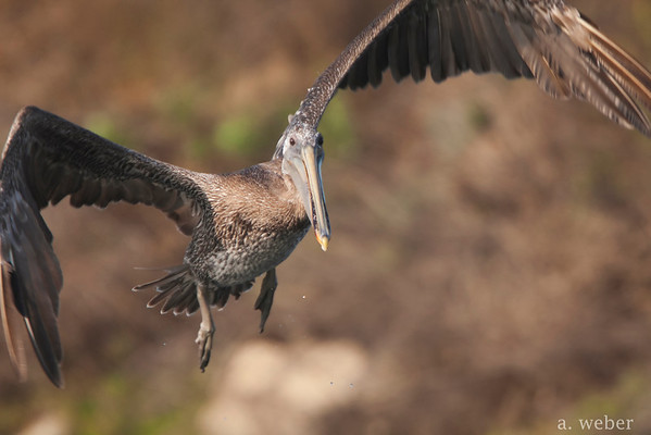 Bolsa Chica Conservancy , Brown Pelican