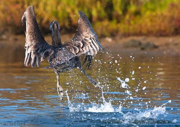 Bolsa Chica Conservancy , Brown Pelican