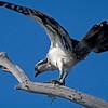 Bolsa Chica Conservancy , Osprey, Fish Hawk, Rybołów