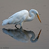 Bolsa Chica Conservancy Great White Egret