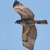 Bolsa Chica Conservancy Redtailed Hawk