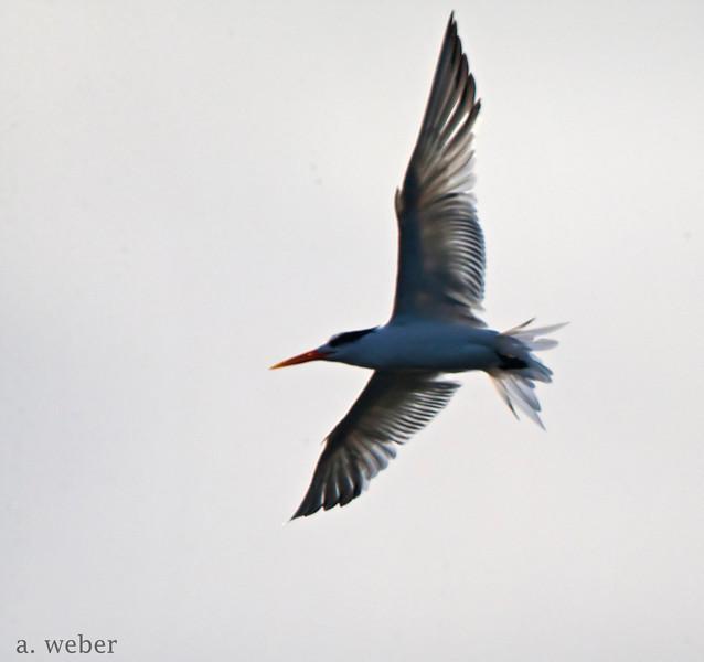 Bolsa Chica Conservancy Caspian Tern