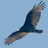 Bolsa Chica Conservancy, Turkey Vulture
