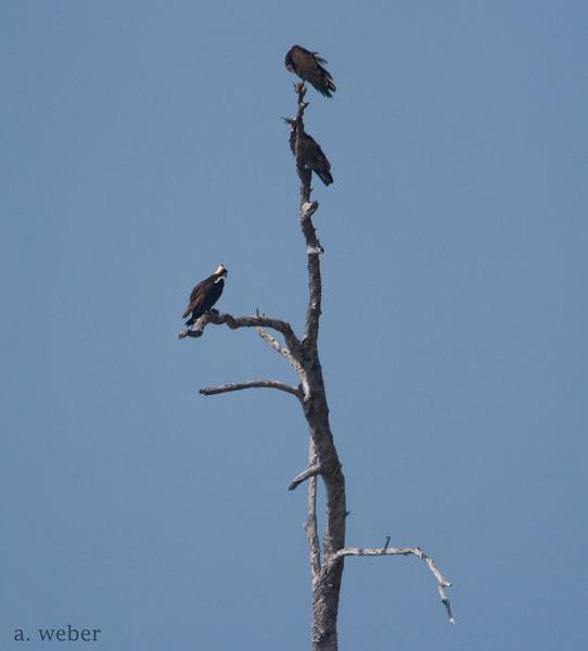 Bolsa Chica Conservancy , Osprey, Fish Hawk, Rybołów, Turkey Vulture