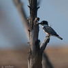 Bolsa Chica Conservancy , Belted Kingfisher