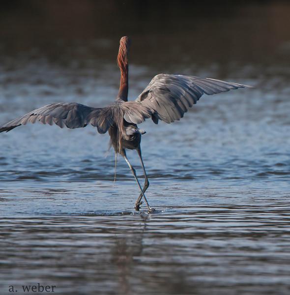 Bolsa Chica Conservancy , Reddish Egret
