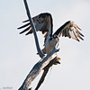 Bolsa Chica Conservancy , Osprey, Fish Hawk, Rybołów