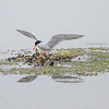 Forster's Tern landing on his cache of clams and mussels