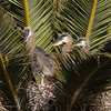 3 young herons
