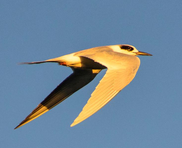 Tern at sunrise