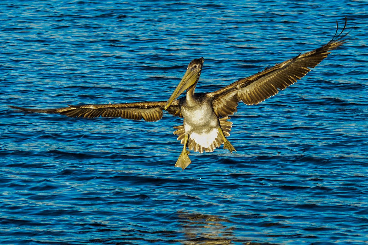 Brown Pelican in landing configuration